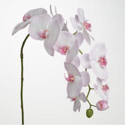 Branche d'orchidée Phalae...