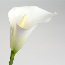 Tige d'arum Calla lily...
